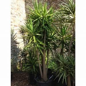 Plante D Intérieur Pas Cher : yucca elephantipes yuca pied l phant ~ Dailycaller-alerts.com Idées de Décoration
