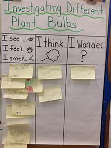 Wonders In Kindergarten  Investigating Bulb Plants