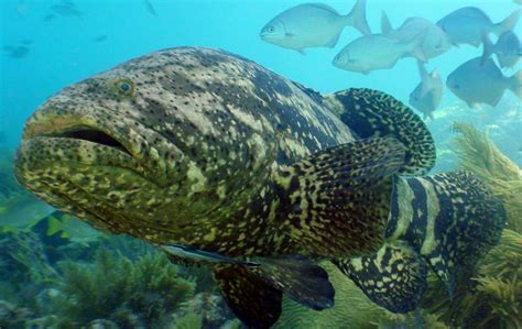 grouper goliath fish ocean florida atlantic keys giant marine line protected key mote coral reef diving distribution thread oceana species