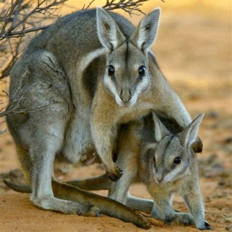 wallaby endangered australia species bridled animals spotlight nail extinct tail tailed wallabies queensland australian found nailtail baby there left cycle