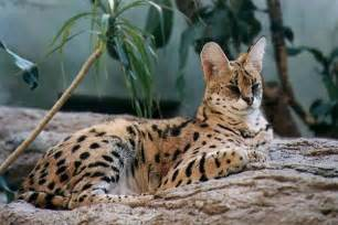 serval cats serval