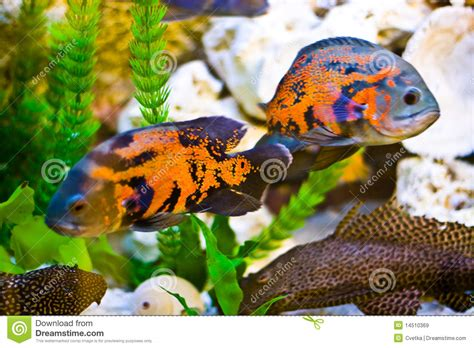 aquarium poisson d or poissons d aquarium images libres de droits image 14510369