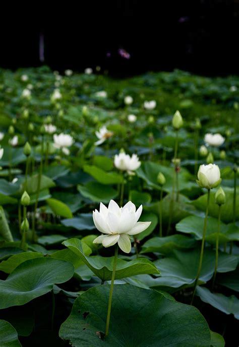 lotus-plant | Gardening ABC