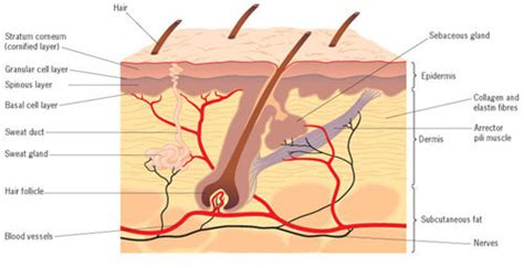 skin structure and function know skin cell function