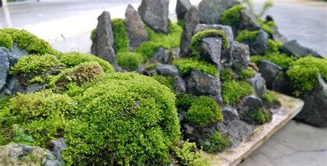 Japanischer Garten Moos by Moss Penjing For Your Penjing Bonsai Diy Bonsai Moss
