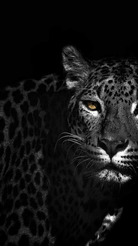 black  white animals leopards wallpaper