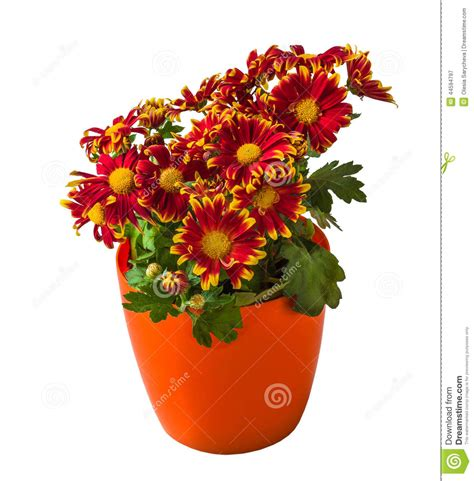 chrysanth 232 me mis en pot de bush d isolement photo stock image 44594797