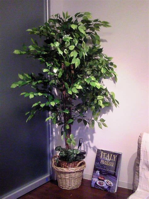 caring for trees ficus tree care ficustree long hairstyles