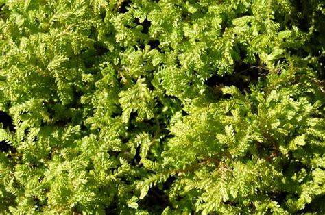 low growing ground cover spikemoss a low growing carpet sfgate