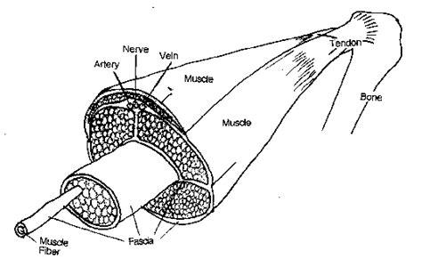 By eugen wekesseron january 19, 2021in wiring diagram195 views. Tendonitis Anatomy