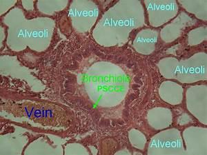 Alveoli Bronchiole Histology | www.pixshark.com - Images ...