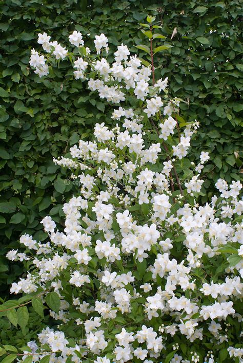 white flowering shrubs philadelphus coronarius mockorange j029885 jpg plant flower stock photography gardenphotos com