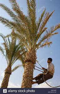 Man Climbing Palm Tree To Trim Some Of The Leaves And Tree Trunk Stock Photo  Royalty Free Image
