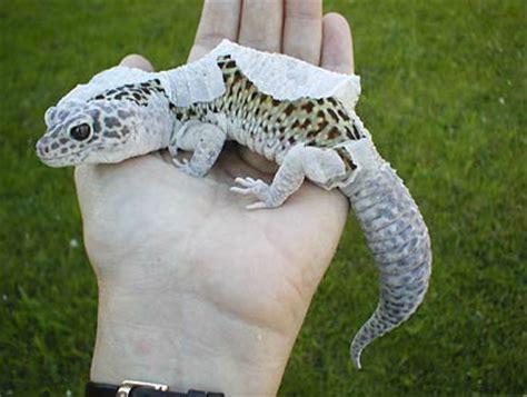 do leopard geckos shed their skin oceans4 11 snow leopard gecko morph