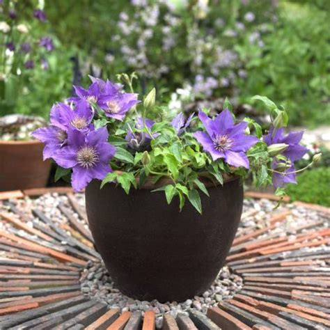 can i plant clematis in a pot 311 best images about clematis on gardens plants and clematis texensis