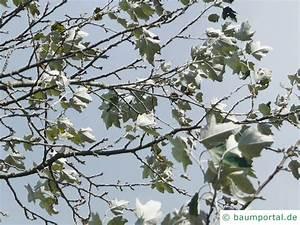 Laubbaum Mit Roten Blättern : silber pappel populus alba ~ Frokenaadalensverden.com Haus und Dekorationen