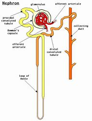 Best Excretory System - ideas and images on Bing | Find what