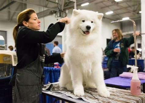Pin By Agustina Sandy On All Bout Samoyed Samoyed Dogs