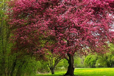 flowering trees apple trees everything you ever wanted to know fast growing trees com