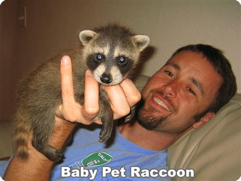 raccoons as pets where can i get a pet raccoon