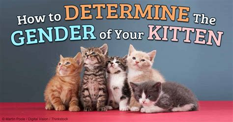 how to tell if a cat is or image gallery kittens male female identification