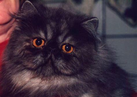 gatti persiani esotici i gatti persiani ed esotici