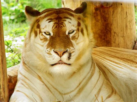 Golden Tiger Relaxing Taken The Siky Ranch