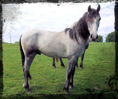 andalusian stud