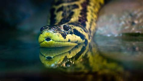 adaptations  anacondas   survive sciencing