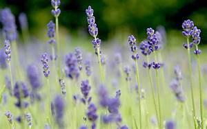 Lavendel Sorten übersicht : annelies 39 duftlavendel pflanze lavandula angustifolia lavendel labkraut lungenkraut ~ Eleganceandgraceweddings.com Haus und Dekorationen