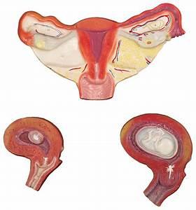 Human Female Reproductive System Set