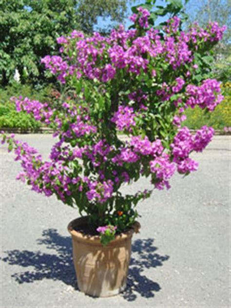 planter la bougainvill 233 e gamm vert