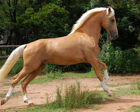 palomino horse horses stallion saddlebred napoleon breeds flickr pretty breed pinto colors definition palominos andalusian golden must american ponies suggestions
