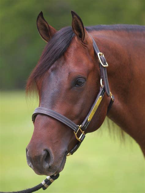 horse head footwork revolution horses pretty quarter brian bell einsteins performance most stables american stallion stud again enlarge close