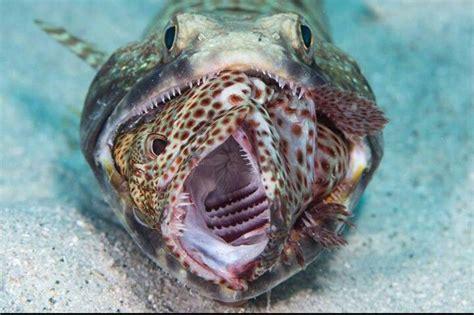 fish grouper eating lizard lizards octopus lizardfish animals aquarium turtle creatures wat animal underwater meat uploaded user