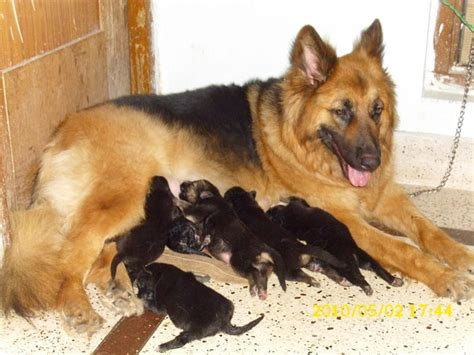 german shepherd puppy price  lucknow dogspot jarman