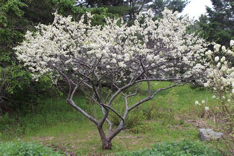 flowering trees sun small flowering trees a dozen native species for limited spaces wild seed project