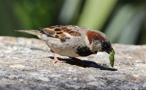 best 28 what does sparrow eat sparrow eating potato