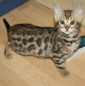 bengal cats for bengal cats for about animals