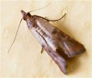 Larve Mite Alimentaire : esp ces d 39 insectes alimentaires en france rentokil ~ Nature-et-papiers.com Idées de Décoration