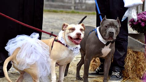 Rescue Dogs Zeus, Abbey Marry In Pit Bull Wedding Ceremony