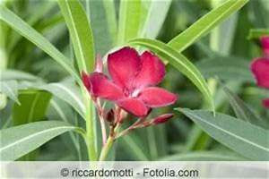Oleander Stecklinge Wurzeln Nicht : wann oleander zur ckschneiden vor oder nach berwintern ~ Lizthompson.info Haus und Dekorationen