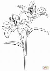 Coloring Lily Tiger Pages Printable Drawing sketch template