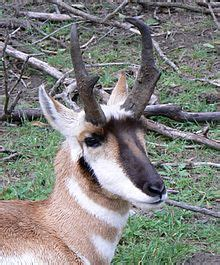 pronghorn wikipedia