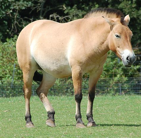 horse przewalski true horses wild przewalskis father endangered poseidon animals species native critically mongolia mammals rare habitat fathers wildlife itsnature