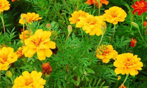menanam merawat bunga kenikir sebagai tanaman