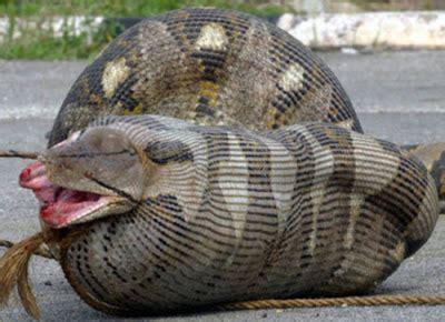 Sunflower Bath Gift Set by Animals World Anaconda Wallpaper Big Anaconda Snakes