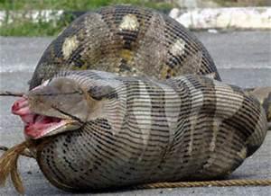 Animali Buffi e Divertenti: l'Anaconda, il serpente più