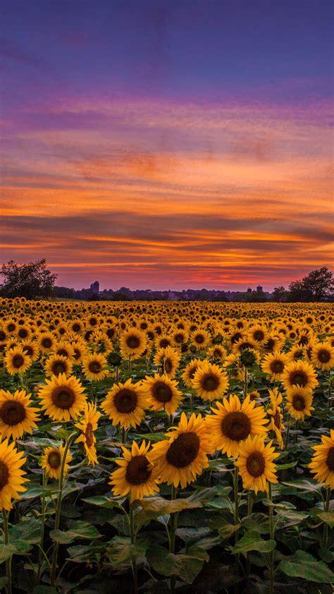 sunflowers field sunset wallpaper