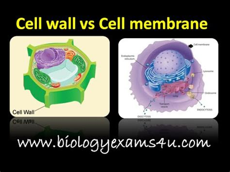 difference  cell wall  cell membrane cell wall